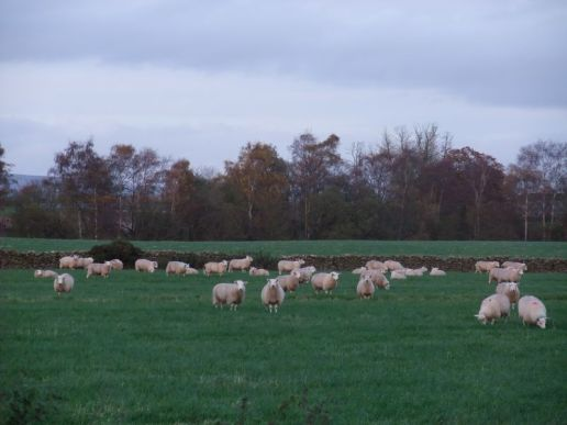 sheep1_s