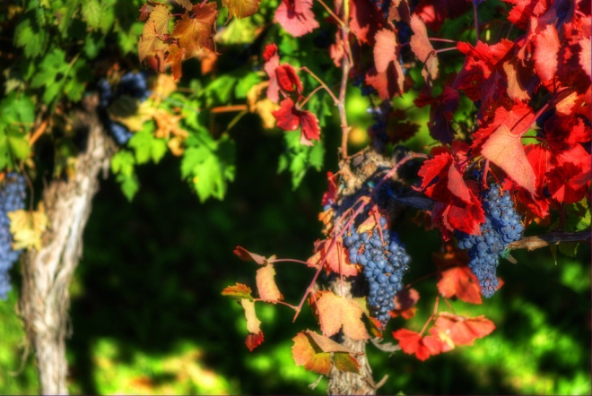 Early October Wine Grapes